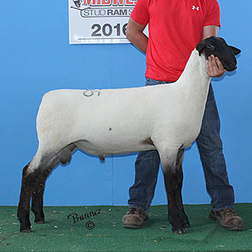 fourth february ram lamb at sedalia