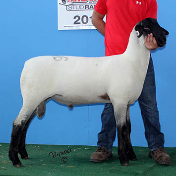 third january ram lamb