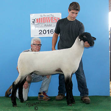 top selling suffolk ram overall at sedalia