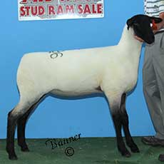 2nd Place January ewe lamb sold to Molly Woods