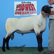 4th Place yearling ram sold to River Bend Club Lambs