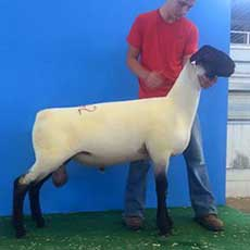 fourth january ram 2015 midwest stud ram sale