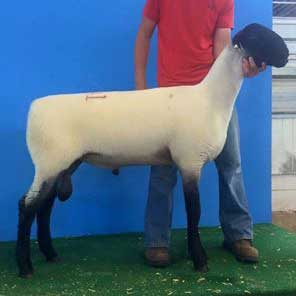 seventh january ram lamb 2015 midwest stud ram sale